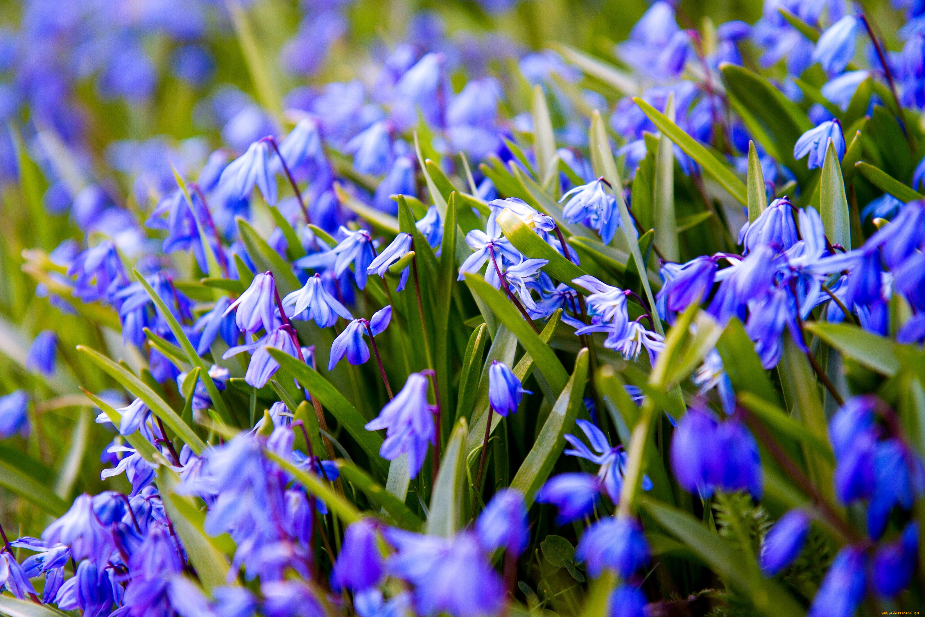 Цветы подснежники белоцветник много